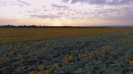 Good background for advertisement of sunflower oil. Shooting from a quadcopter