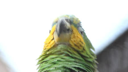 ara papagáj : Amazon parrot talking. Close-up portrait