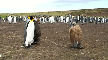 waddling : alkland Islands: Pair of King Penguins with their chick