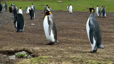 waddling : Falkland Islands: King Penguins running around Stock Footage