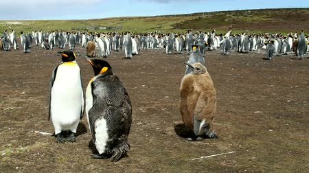 waddling : Falkland Islands: Pair of King Penguins with their chick