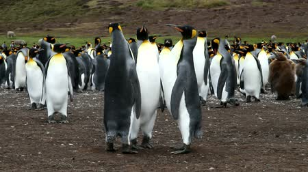 waddling : alkland Islands: Three king penguins are standing together
