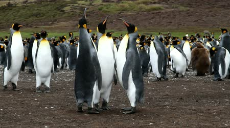 waddling : Falkland Islands: Three king penguins are standing together