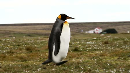 waddling : Falkland Islands: King Penguin is running around