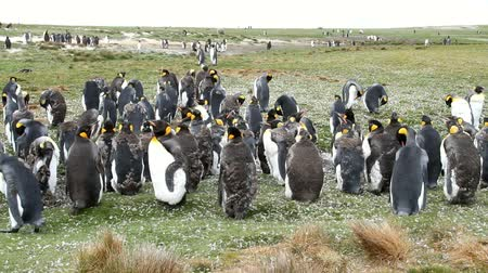 waddling : Falkland Islands: Penguins clean their plumage Stock Footage