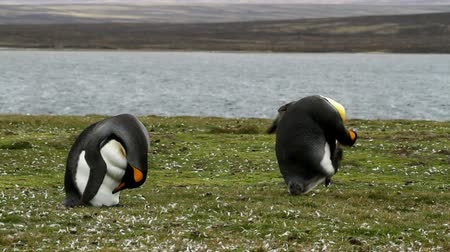 waddling : Falkland Islands: King Penguins clean their plumage Stock Footage