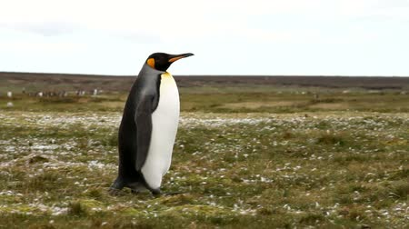 waddling : Falkland Islands: King Penguin