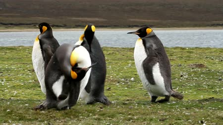 waddling : Falkland Islands: Group of King Penguins