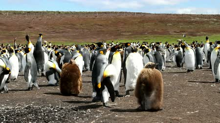waddling : Falkland Islands: Group of King Penguins with chicks Stock Footage