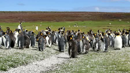 waddling : Falkland Islands: Penguins at feathering