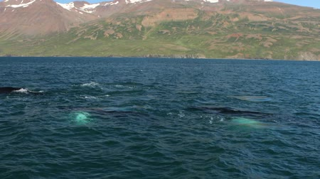 at kuyruğu : Whales on water in gulf of Iceland. HD Footage. Stok Video