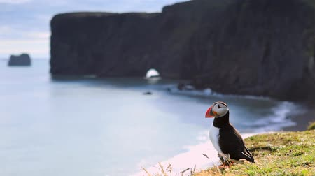 arctica : Fratercula arctica - sea birds from the order of Charadriiformes. Puffin on rocky coast of Iceland. HD Footage.