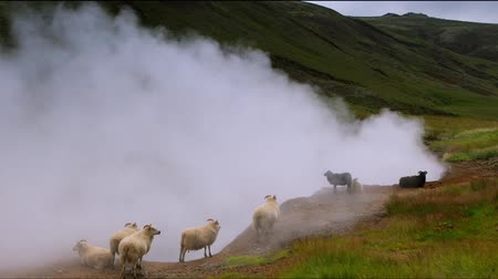 숫양 : Scenic Icelandic meadows with sheep and rams in landscape fields. HD Footage.