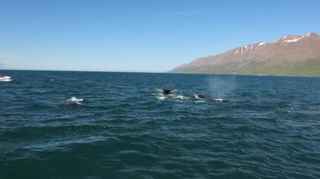 wieloryb : Whales on water in gulf of Iceland. Slow Motion Footage. Wideo