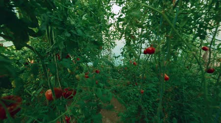 walkthrough : An ultrawide POV walkthrough shot in a small greenhouse. Local produce ripe yellow and red organic tomatoes with vine and foliage can be seen. Stock Footage