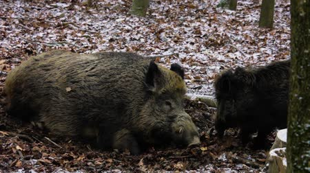 young wild boar jumping and running around his relaxing mother in snowy forest  (winter day) Stock Footage