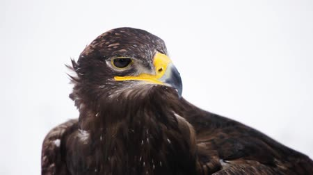 steppe eagle looking into the camera in snowy landscape   Stock Footage