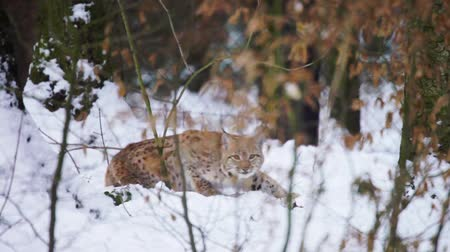 Eurasian Lynx lying and looking into camera (Lynx lynx carpathicus)