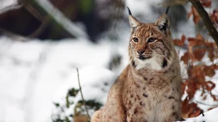 Eurasian Lynx in winter scenery around watching Lynx lynx carpathicus