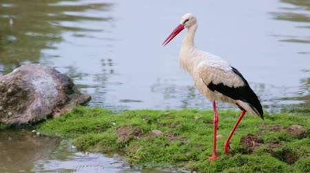 White stork with red beak (Ciconia ciconia)