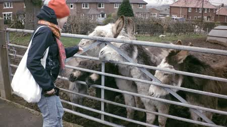 pat : Happy girl pats donkey nose. Group of animals wait for food