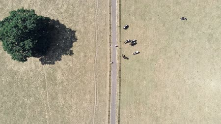 cow flies : Aerial view, rising movement. Straight path, track with cows and people