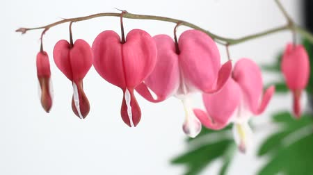 miłość : Bleeding Heart Flowers (Lamprocapnos Spectabilis) isolated on white. Wideo