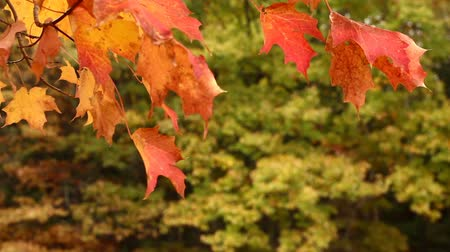 навес : Autumn Maple Tree Leaves Blowing in the Wind