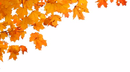 Maple leaves in Autumn isolated on white. Room for your Text. Wideo