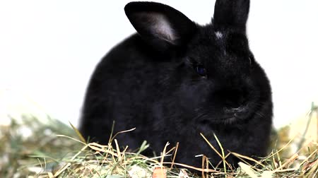 coelho : Cute black rabbit eating salad