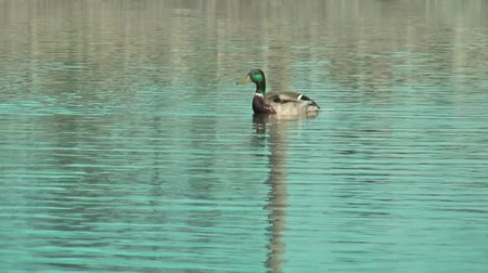 duck : wild duck start to fly on the pond Stock Footage