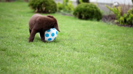 щенок : chocolate labrador puppy playing with a ball
