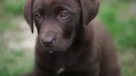 щенок : Puppy Labrador retriever chocolate