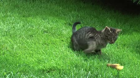 tabby cat : Cat is playing