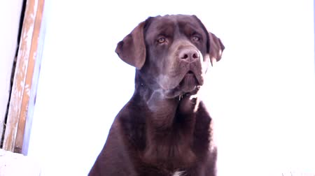hunting dog : Barking chocolate Labrador
