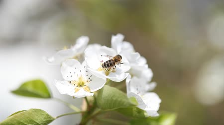 pereira : Flowering Pear Tree and Bee taken pollen background  Stock Footage