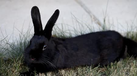 kulaklar : Small dwarf black bunny lying Stok Video
