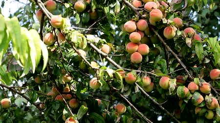 brzoskwinia : Peaches on a Tree Branch