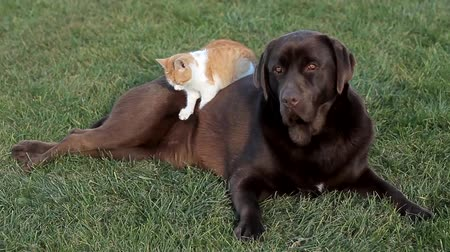 lying cat : Little orange cat with a brown labrador