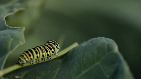 tubular : Caterpillars on a green leaf