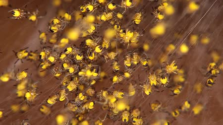 just born : Hundreds of yellow just born baby spiders