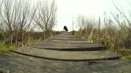 лабрадор : Chocolate Labrador retriever walking over the little bridge in the nature of wood