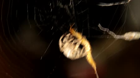 cross spider : Close-up of spider is hunting Cross Stock Footage