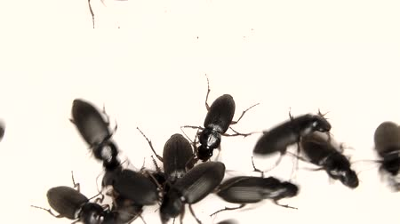 isolar : Black bugs isolated on white Stock Footage