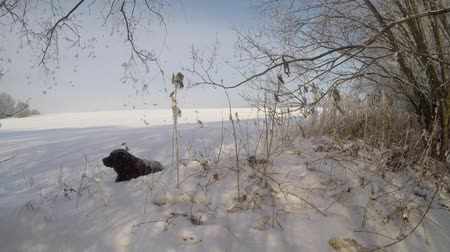 arquejo : Brown Labrador lying in the snowfall in winter Stock Footage