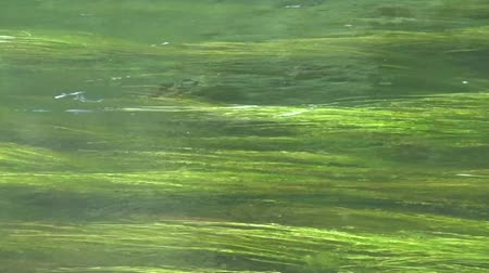 algler : Green algae in the clear water of the river Stok Video
