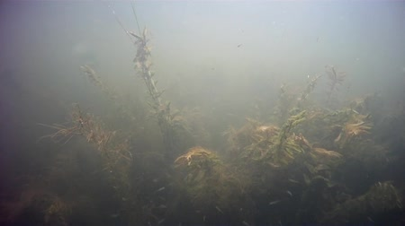 River underwater plants and fish