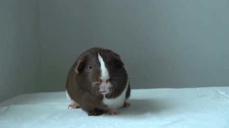 świnka morska : Pet Guinea pig looking forward