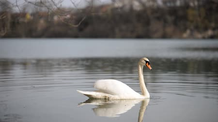 cisne : Video of a beautiful white swan swimming on peaceful water of a lake or river.