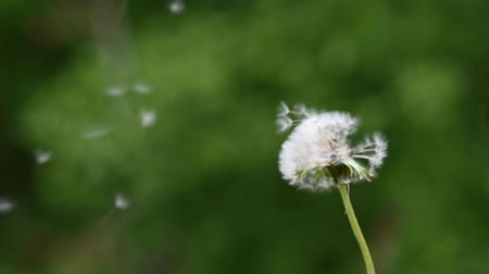 хрупкий : Slow motion of dandelion seeds being blow off the bulb outside in nature.